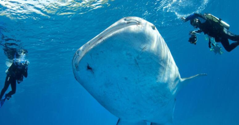宿务鲸鲨.jpg