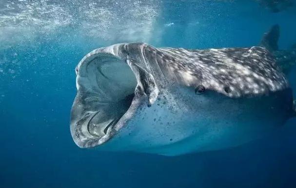 菲律宾特产-鲸鲨宝宝.png