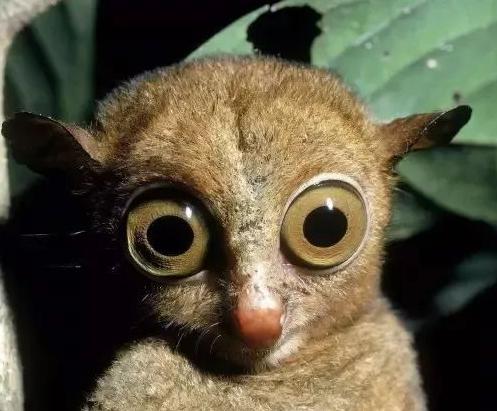 菲律宾特产-眼镜猴.png