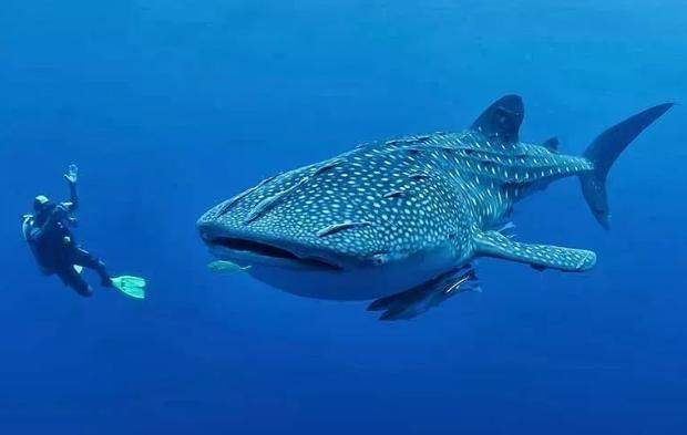 菲律宾特产-鲸鲨宝.png